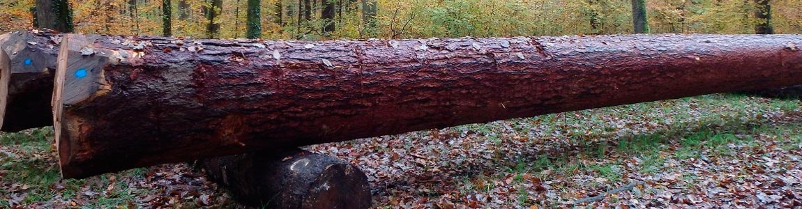 high quality larch timber